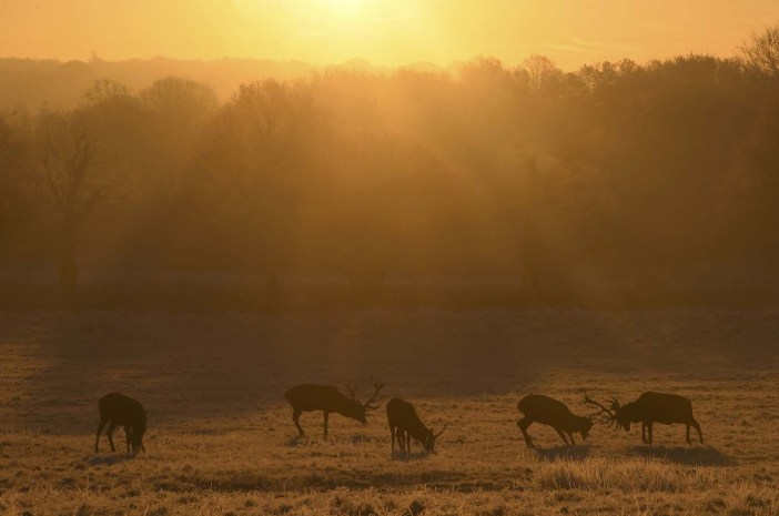 Deer graze at dawn on the coldest day the year so far according to the Meteorological Office, in Richmond Park in west London, Britain, November 30, 2016. REUTERS/Toby Melville