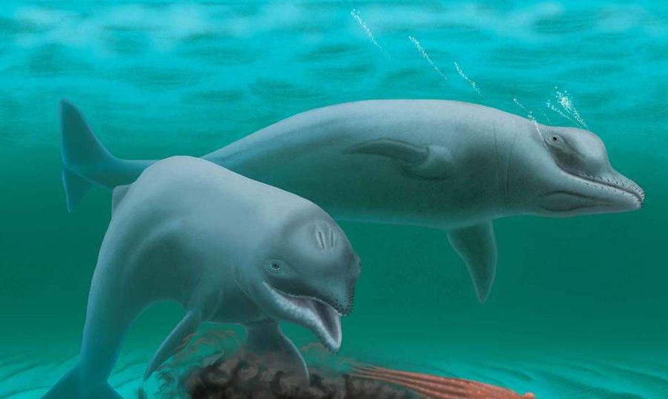 La falta de dientes hace suponer que el delfín se alimentaba únicamente aspirando, como lo hace actualmente la morsa, ingiriendo peces.