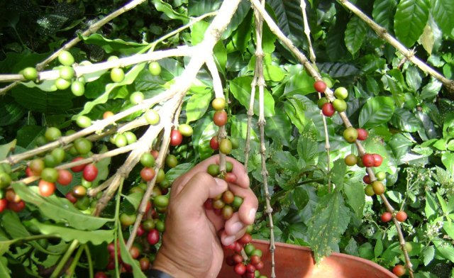 cafeproduccion_980
