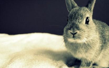 conejo-gris