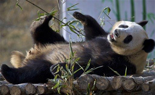 En esta imagen del 28 de enero de 2013, el panda gigante Ya Ya juega en un centro de recuperación en el condado de Foping, en la provincia china de Shaanxi Según un censo de la Administración China de Bosques, la población de pandas ha aumentado en 268 ejemplares, a 1.864, desde el último sondeo terminado en 2003. (AP Foto)