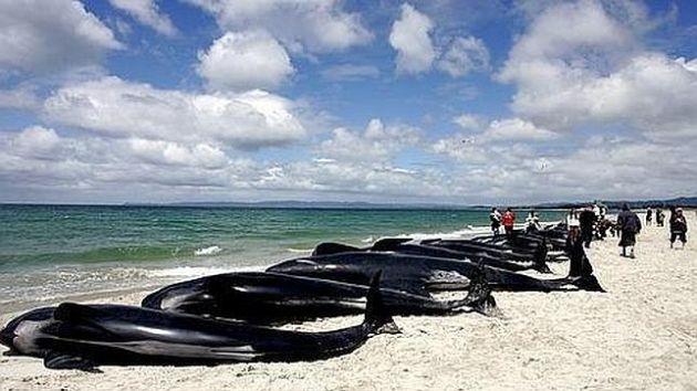 Reflotan Parte De Las 200 Ballenas Varadas En Una Baha Nueva