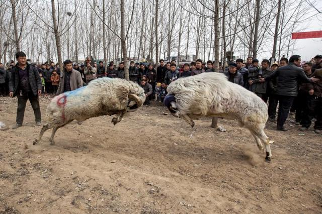 Fotografía facilitada hoy, 10 de marzo de 2015, que muestra a numerosas personas mientras presencian una pelea de carneros en la aldea de Hanhejing, en Huaxian (China), el 9 de marzo de 2015. Unas 40 personas de la zona llevaron a sus carneros para participar en estos tradicionales combates. EFE/WANG ZIRUI