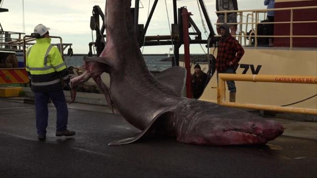 Capturan al segundo pez más grande del mundo