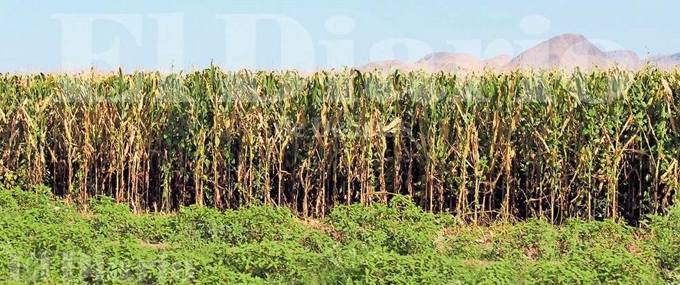Araña roja ataca cultivos de maíz