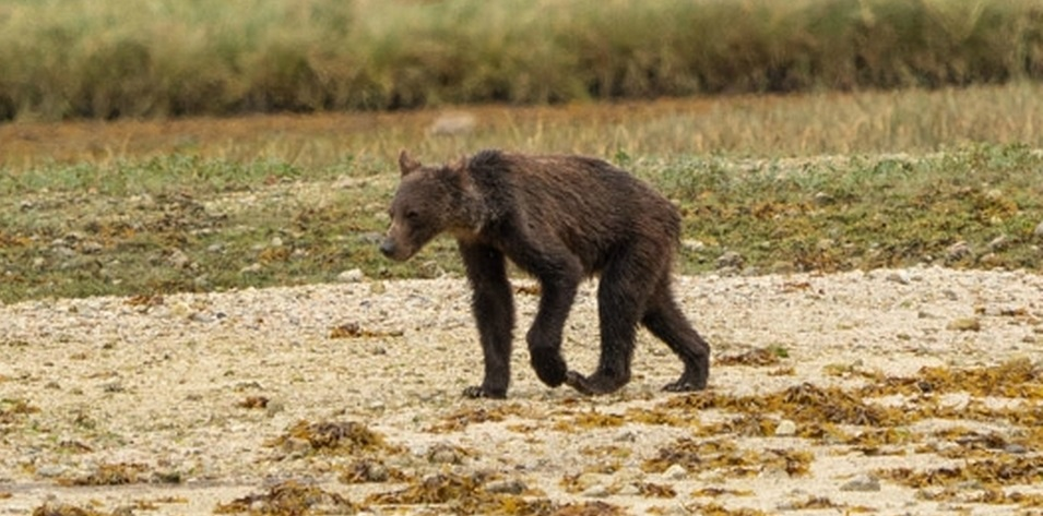 Captan a familia de osos grizzly muriendo de hambre en Canadá