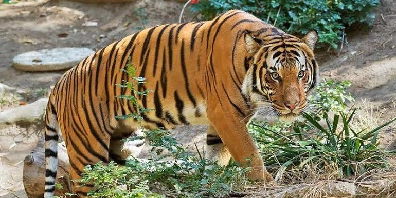 Aseguran que el tigre de Malasia se podría extinguir en 3 años