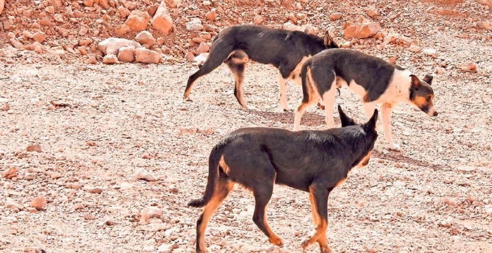 Población de perros crece en el Relleno Sanitario