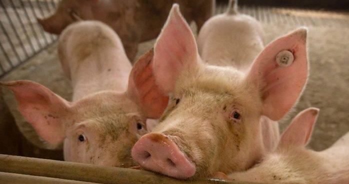 Anuncia china brote de peste porcina africana en cerdos