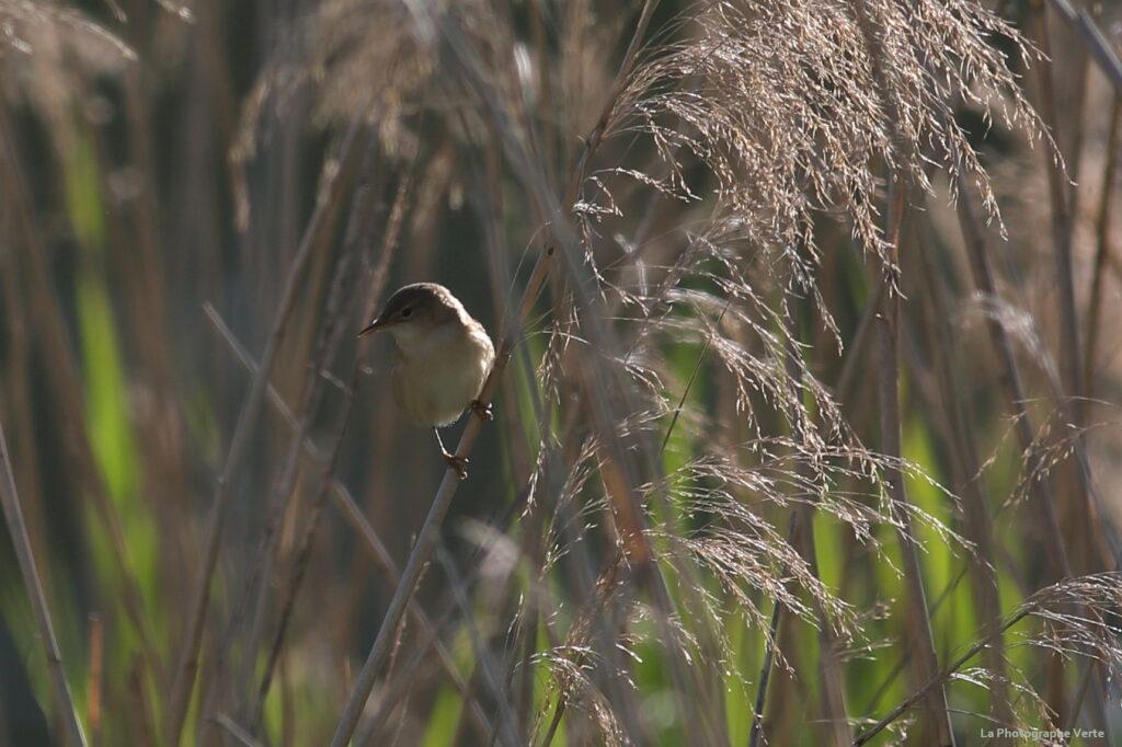 photo ornithologique: rousserolle effarvatte photographiée le 23 mai 2021 au Lac des Vernes
