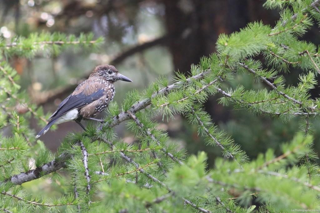Photo ornithologique: Cassenoix moucheté photographié le 28 juin 2021 à Tignoussa en dessus de Saint-Luc