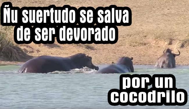Hipopótamos salvan