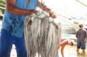 Insolite – Les cartels mexicains se lancent dans le trafic de poulpes !