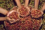 """Chiapas – Sur la route du café, les fincas préservent la culture de """"l'or noir"""" (reportage vidéo)"""