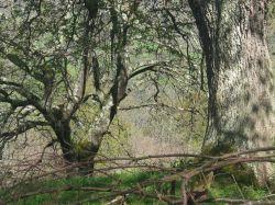 El Bosque de Cea