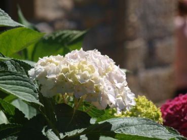 Hortensias de La Quintana de Romillo
