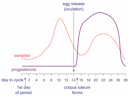 Progesterone Luteal Phase