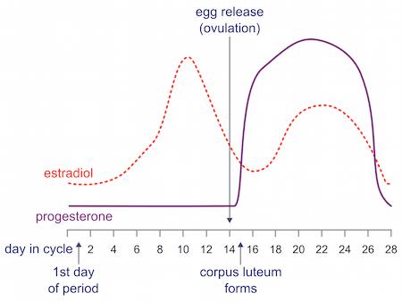 estrogen progesterone menstrual cycle