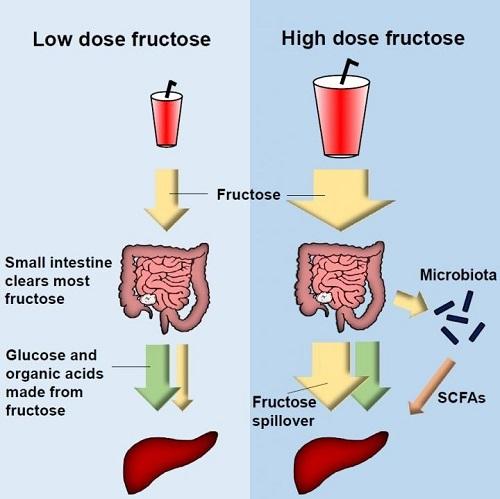 fructose small intestine
