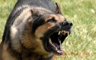 cane-aggressivo2