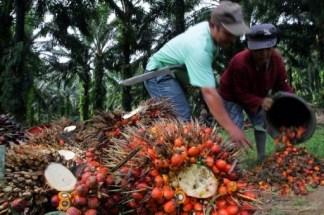 olio di palma 3