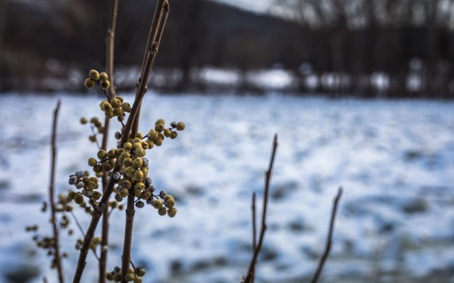 Winter berries in front of Housatonic River ice jam