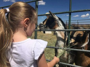 our-animals-feeding-the-goats