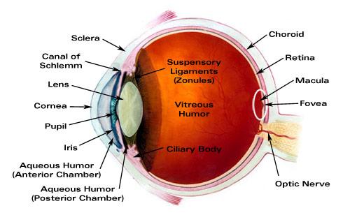 Major Ocular Structures - Laramy-K Independent Optical Lab ...