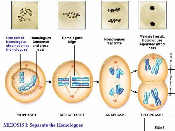 steps of meiosis diagram 2007 honda civic ex radio wiring mitosi e meiosi