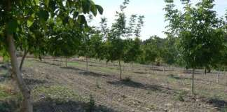 Cultivos deNogueras en Moratalla ::Foto: CARM::