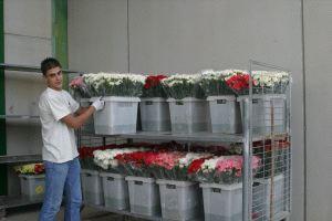 Flor cortada en la Cooperativa CanaraFlor, Cehegín