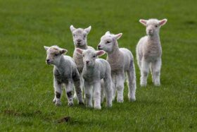 Lambcast #570 Welcome to the Flock