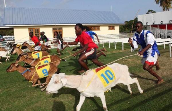 goat-racing-buccoo-tobago