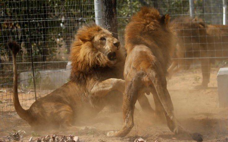 Αγέλη λιονταριών κατασπάραξε επίδοξο λαθροκυνηγό