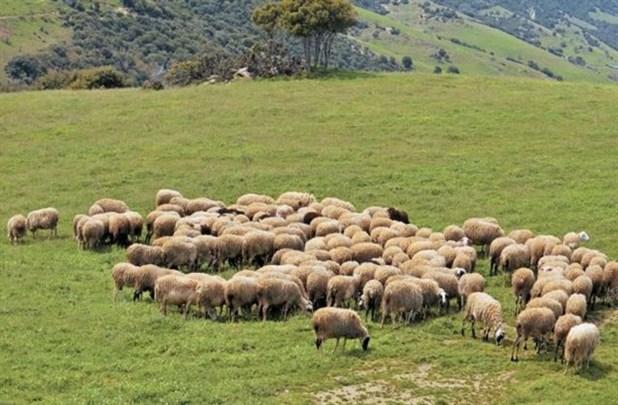 Βγάζουν σε ηλεκτρονικό πλειστηριασμό 200 πρόβατα για χρέη στον ΕΦΚΑ