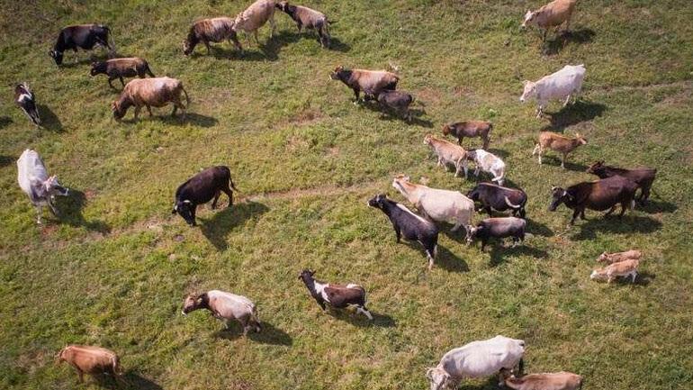 «Συνέλαβαν» αδέσποτες αγελάδες που αναστάτωσαν ένα ολόκληρο χωριό