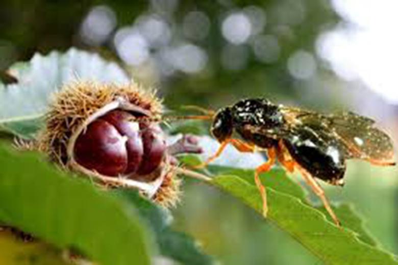 Προσβολές από τη σφήκα σε καστανεώνες