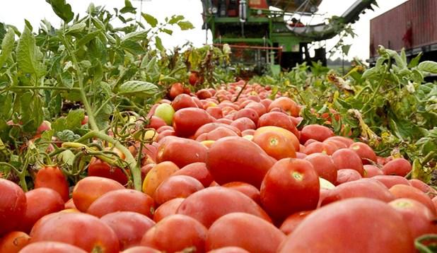 Λάρισα: H φετινή λειψυδρία προβληματίζει τους παραγωγούς βιομηχανικής ντομάτας