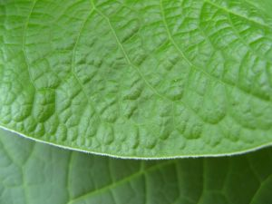 unknown Piper species leaf