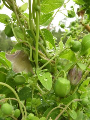 Codonopsis pillosula, dang shen