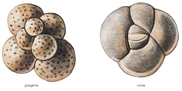 Encyclopdie Larousse en ligne  Foraminifres fossiles