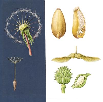 Encyclopdie Larousse en ligne  Fruits secs indhiscents