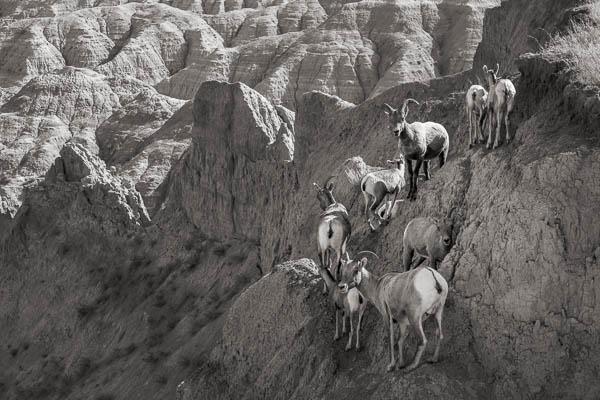POTD: Badlands Bighorns