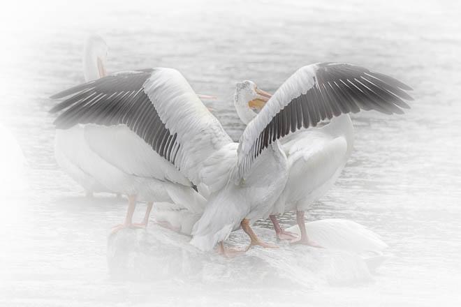 POTD: Pelicans #2