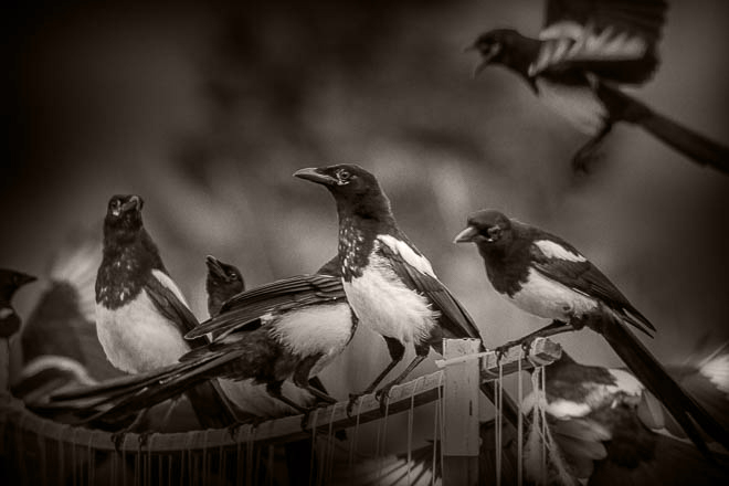 POTD: Magpie Choir