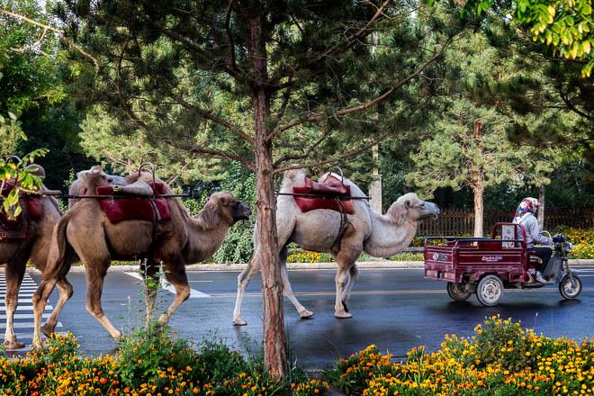 POTD: Camel Driver