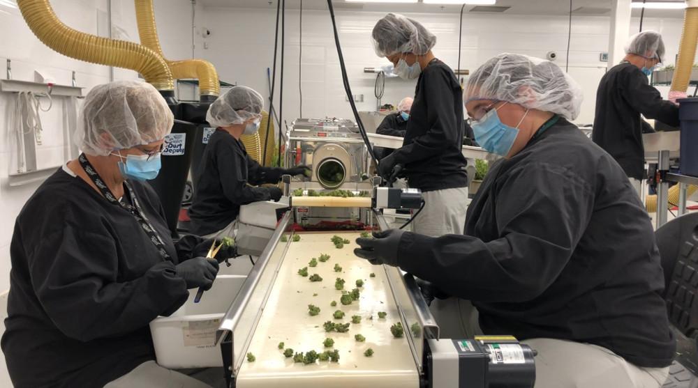 Los propietarios de la cerveza Corona invierten en cannabis