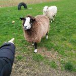 Hof Iggenwarden - Dando de comer a las ovejas