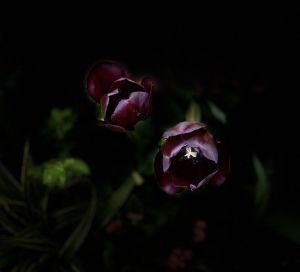 Mi morena La reina de la noche tulipán negro cerrado