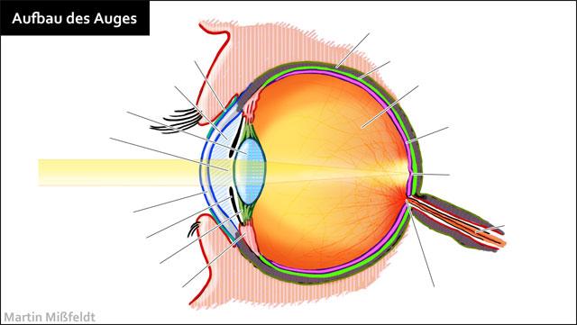 Aufbau des menschlichen Auges - Lasikon